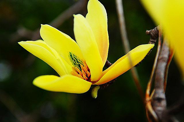 黄色いモクレン02