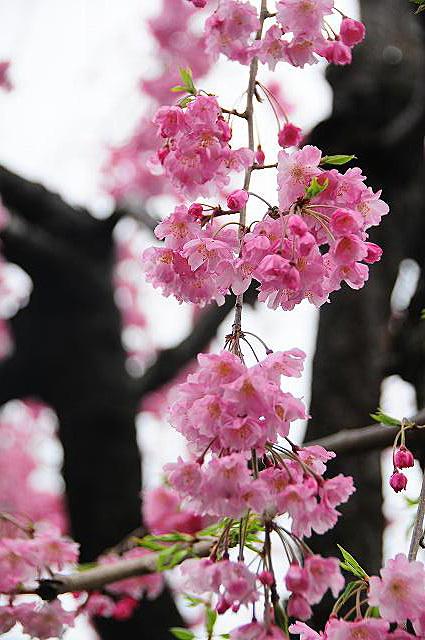 しだれ桜01
