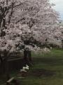 ソラーレ近所の桜