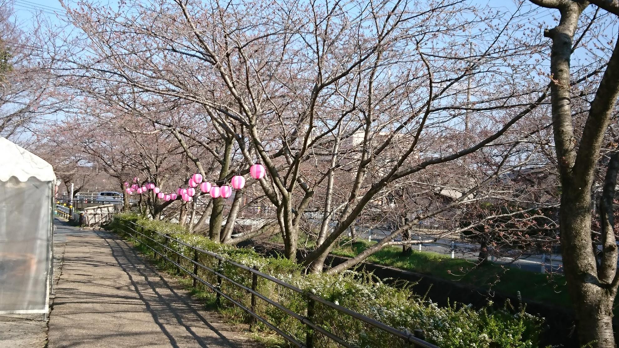 桜 2017①
