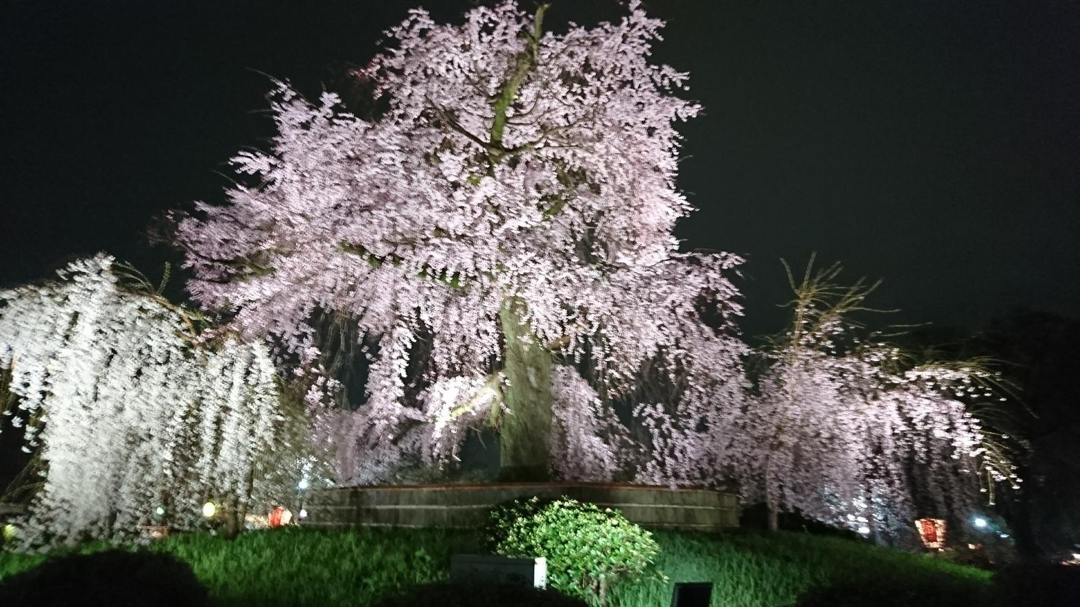 知恩院 夜桜