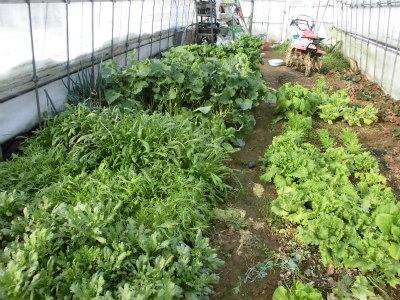 2.12ハウスの野菜