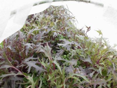 2.22紫水菜