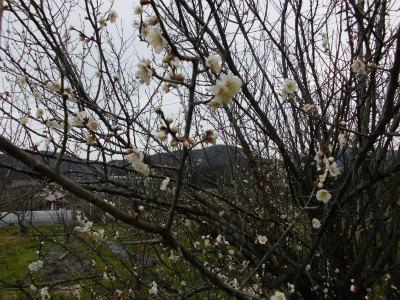 2.22梅の花