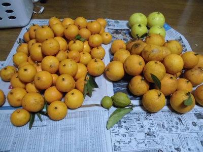 2.22収穫した柑橘