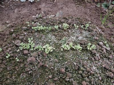 2.22芽が出た青梗菜