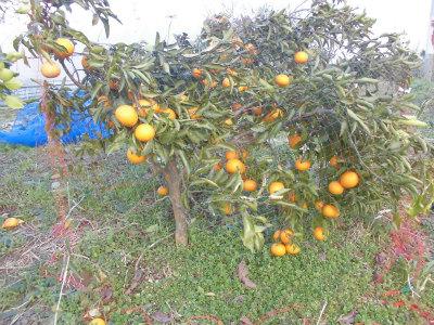 2.24清見オレンジ