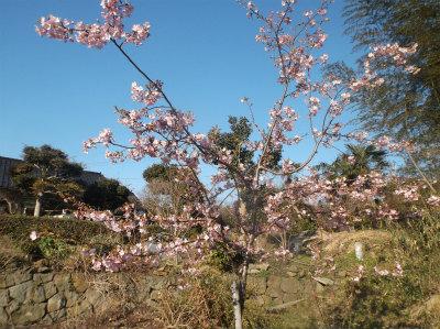 3.11河津桜2