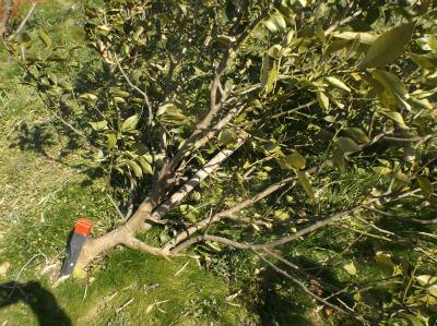3.11倒れているレモンの木