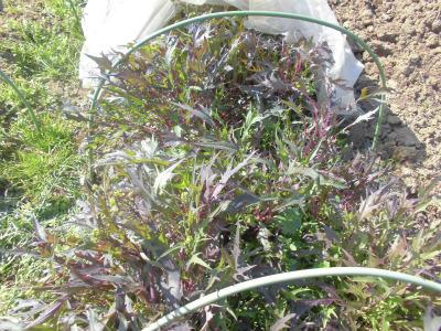 3.12紫水菜