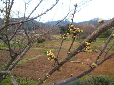 3.24膨らむ木の芽