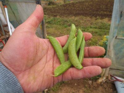 3.31スナップ初収穫