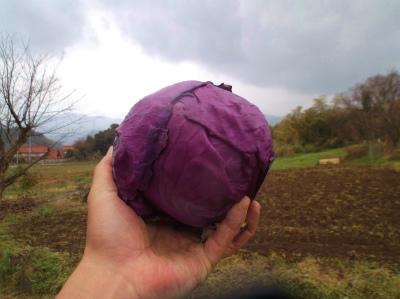 3.31紫キャベツ採ったで〜