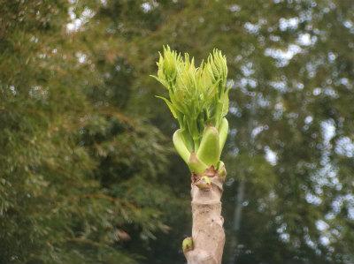 4.7タラの芽2