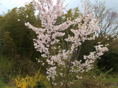 4.7庭の桜1