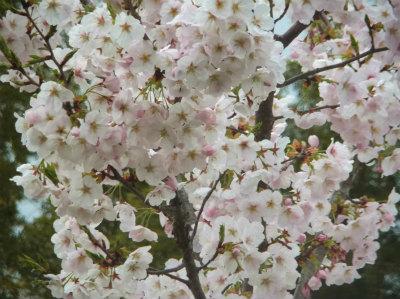 4.7庭の桜2