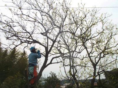 4.16柿の木伐採1