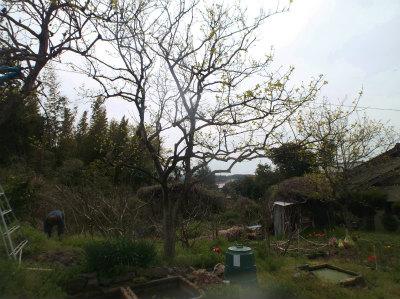 4.16柿の木伐採2