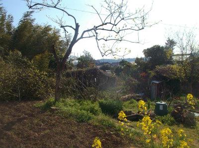4.16柿の木伐採3