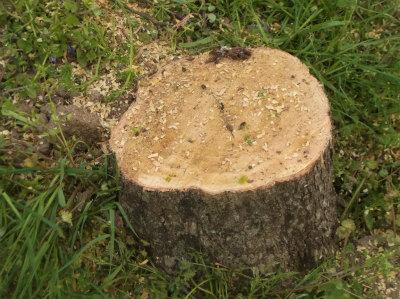 4.16切った柿の木の跡