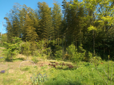 4.22空地から竹薮を臨む