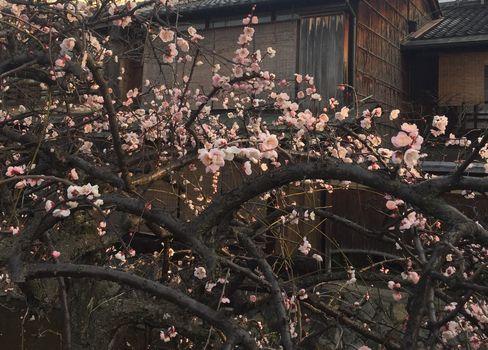 祇園白川の梅_H29.03.04撮影