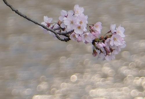 0407川桜