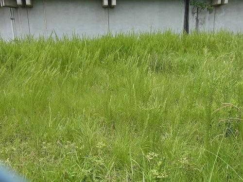 メドハギ・筮竹 (1)