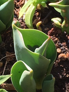 20170224_tulip の芽