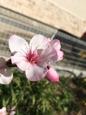 20170310_アーモンドの花