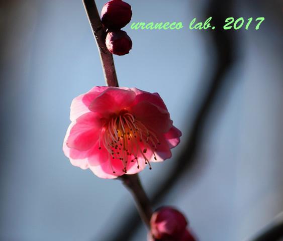 2月9日寒紅梅2