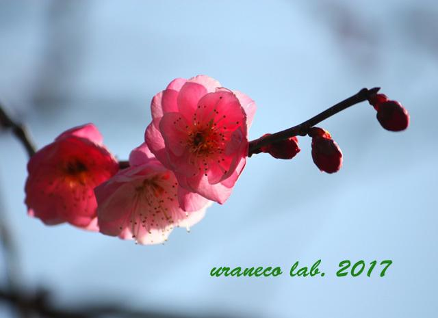 2月9日寒紅梅3