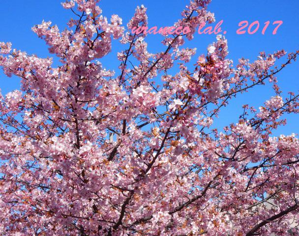 2月13日河津桜5