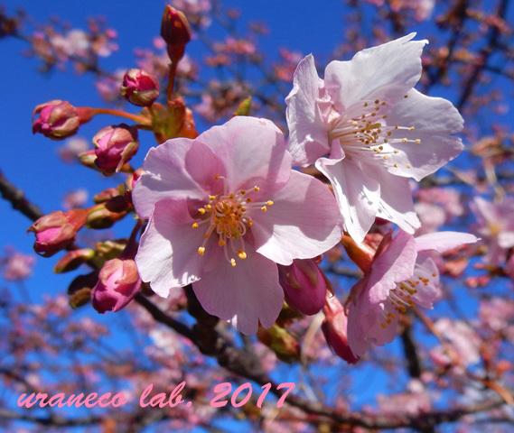 2月13日河津桜4