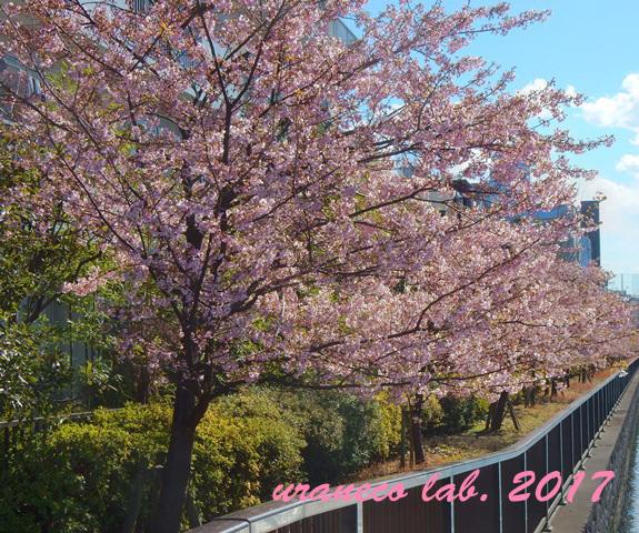 2月13日河津桜2