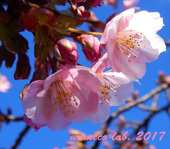 2月13日河津桜