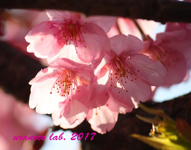 2月17日河津桜2