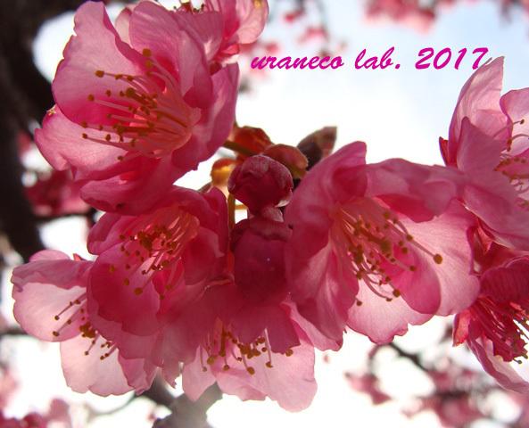 2月17日河津桜