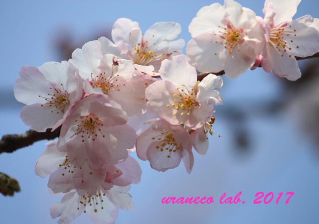2月17日寒桜