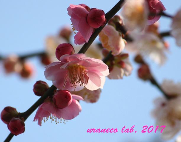 2月17日梅源平合戦