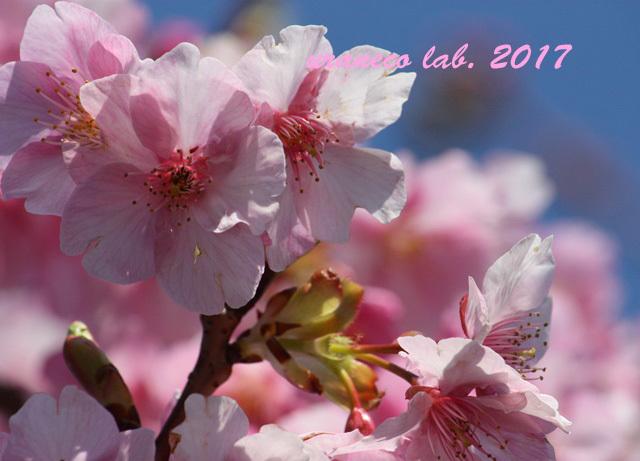 2月17日河津桜3
