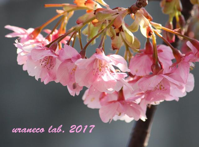 2月17日河津桜4