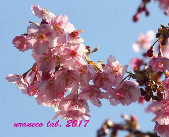 2月17日河津桜5