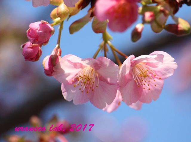 2月17日河津桜6