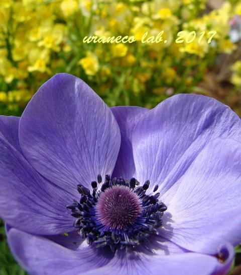 2月17日アネモネ紫2