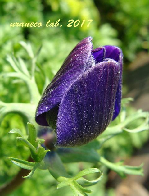 2月17日アネモネ紫
