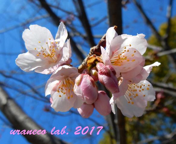 2月20日大寒桜