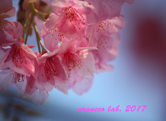 2月21日河津桜