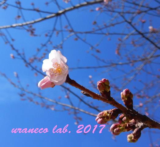 2月20日大寒桜2