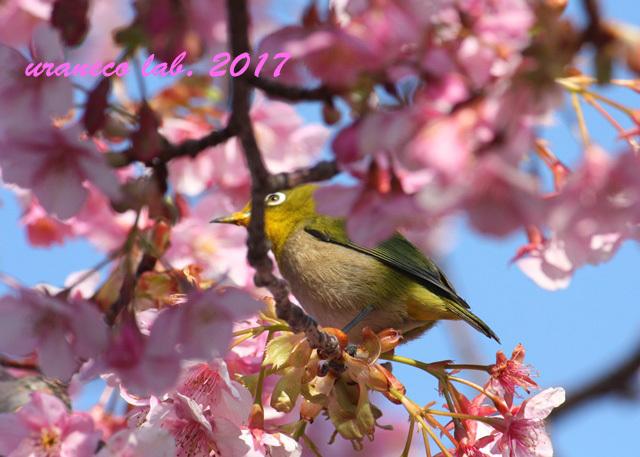 2月21日河津桜とメジロ5